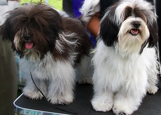 Pictures Of Black Havanese Dogs