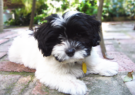 Havanese Dogs For Sale In Arizona